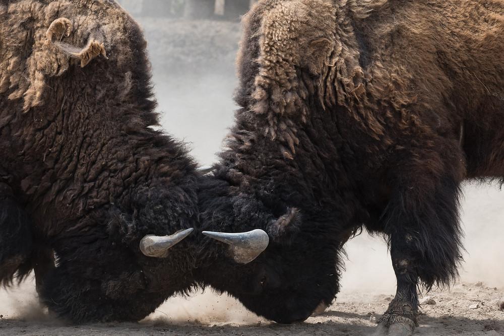 wütende Bisons die miteinander kämpfen