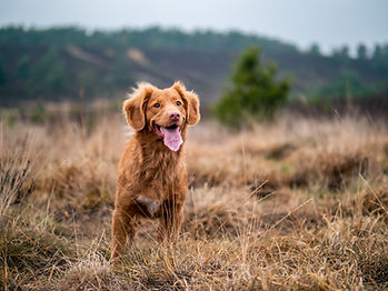 Toller standing in a field