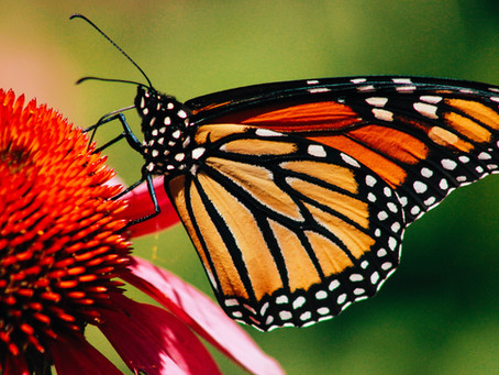 Monarch Butterflies in the City