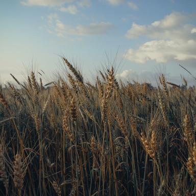 Wheat Fields in Russia