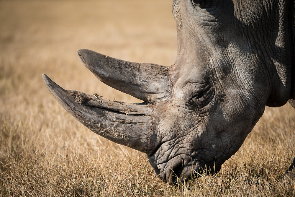 One of the last 2500 Black Rhino left in the world photographed on Greater Kudulandf