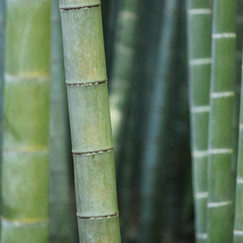 bamboo - Image by kazuend