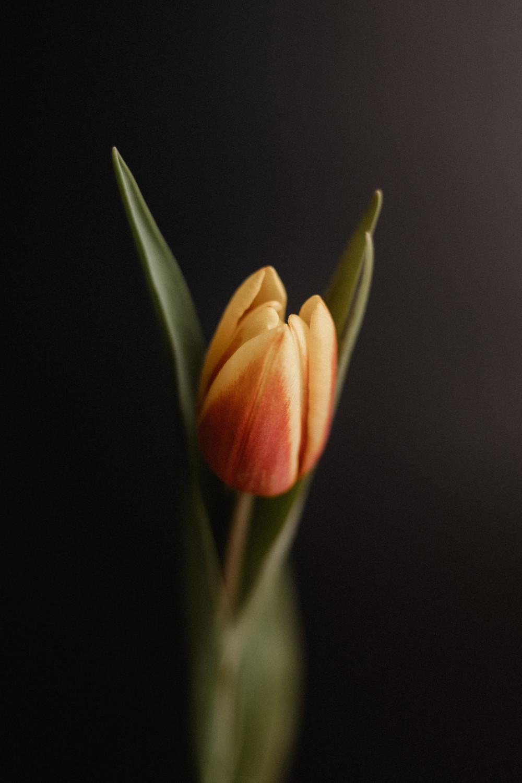 Crise financeira  da Tulipa - Sec XVII e XVIII