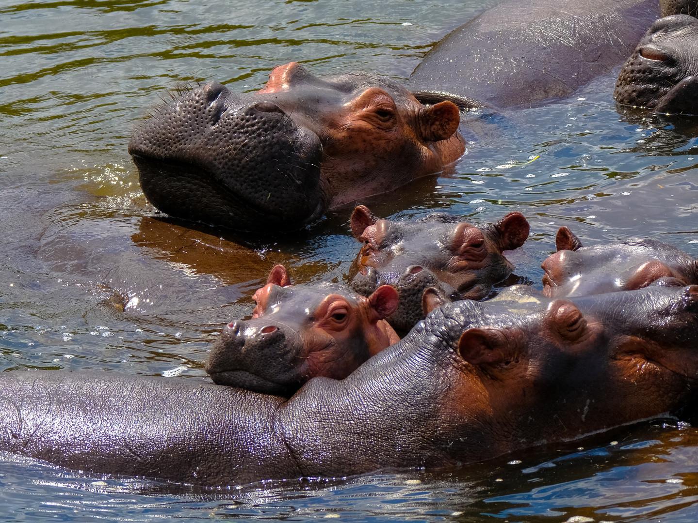 Hippo Pod