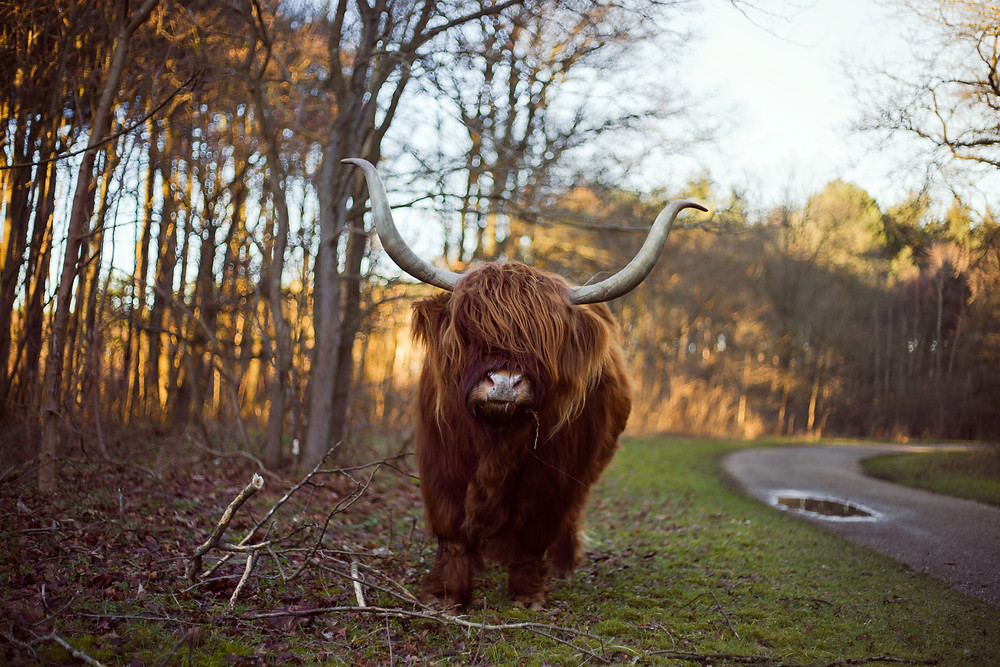 Highland cow near side of the road