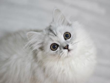 Необходима ли вакцинация домашней кошке ?