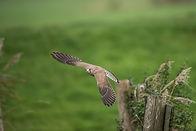 UK bird of prey
