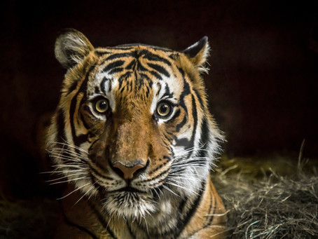 The race to save our Malayan Tigers