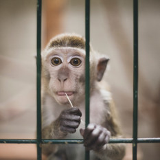 Macaques in captivity