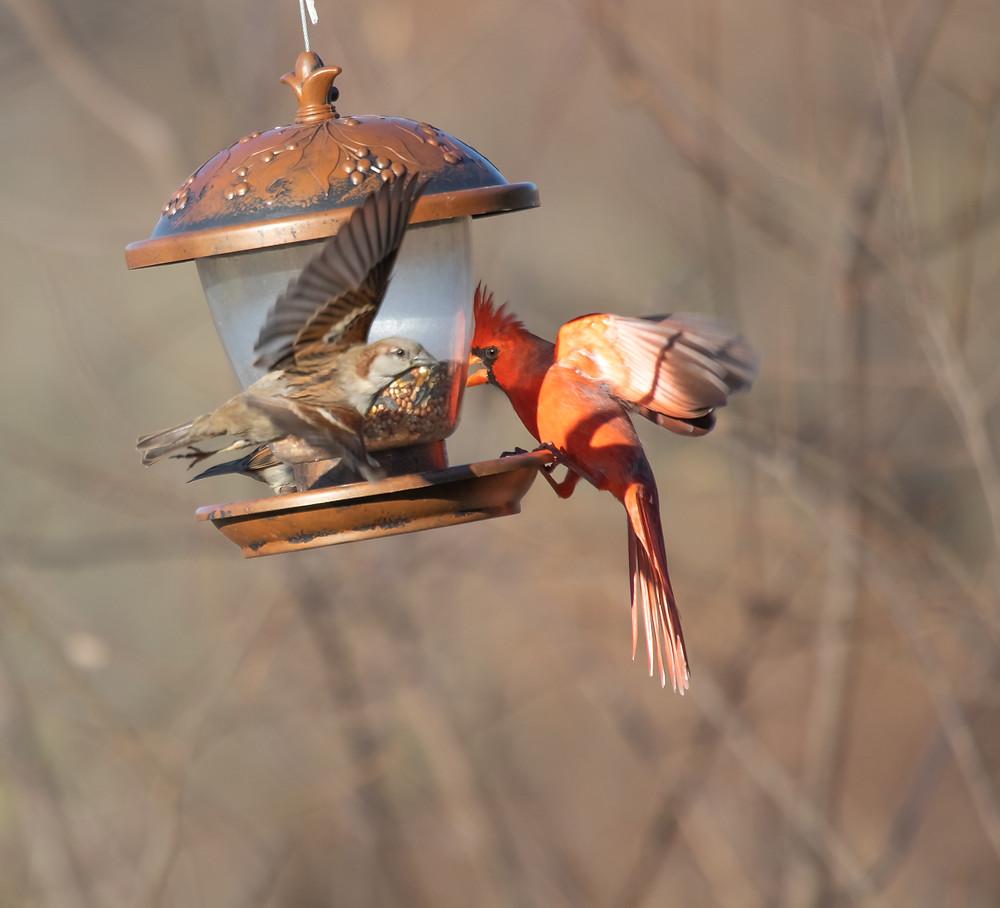 Male cardinal scares smaller bird from bird feeder