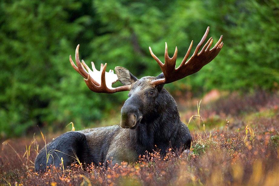 Moose Image by Shivam Kumar