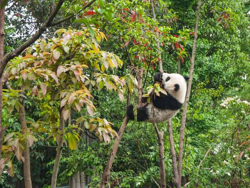 Panda Ark & Panda Volunteer Program at Dujiangyan