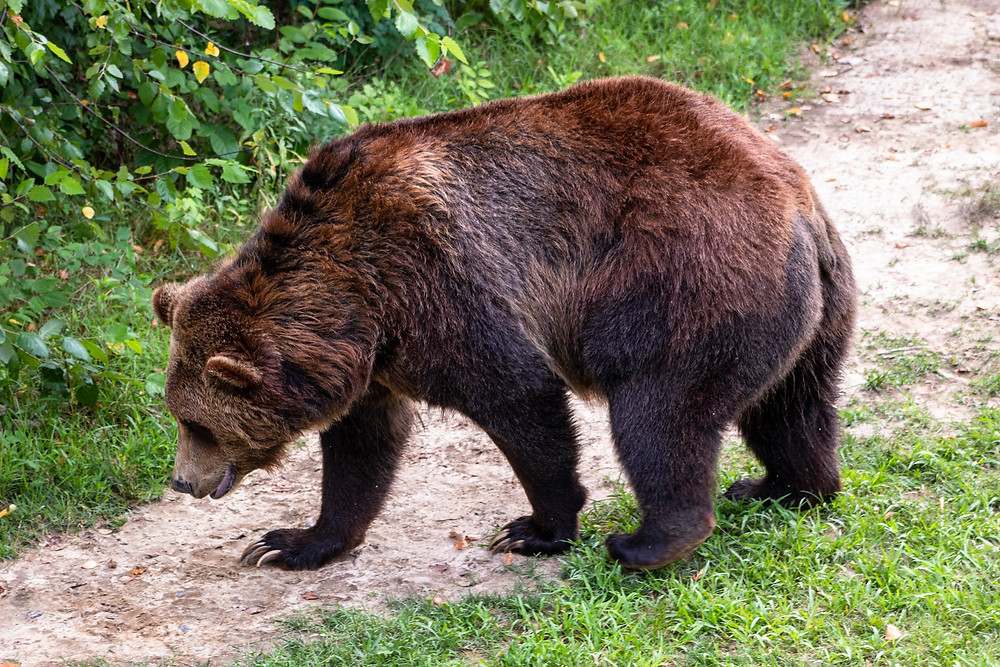 Grizzly bears might be spotted in Lake O'Hara