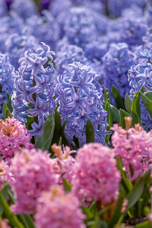 Mixed Hyacinth Bulbs
