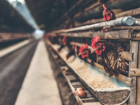 Waspada Koksidiosis Pada Ayam Dan Cara Penanganannya!
