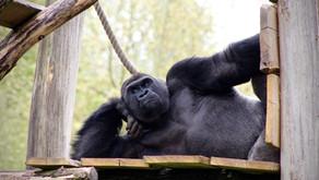 Sit up, Gorilla!