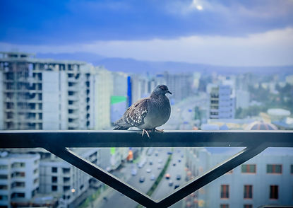 Pigeon Control Edmonton