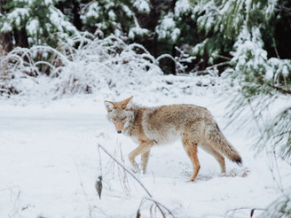 Four Lessons From A Pack of Coyotes in The Middle of Edmonton