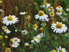 Why We Use Chamomile In Our Products