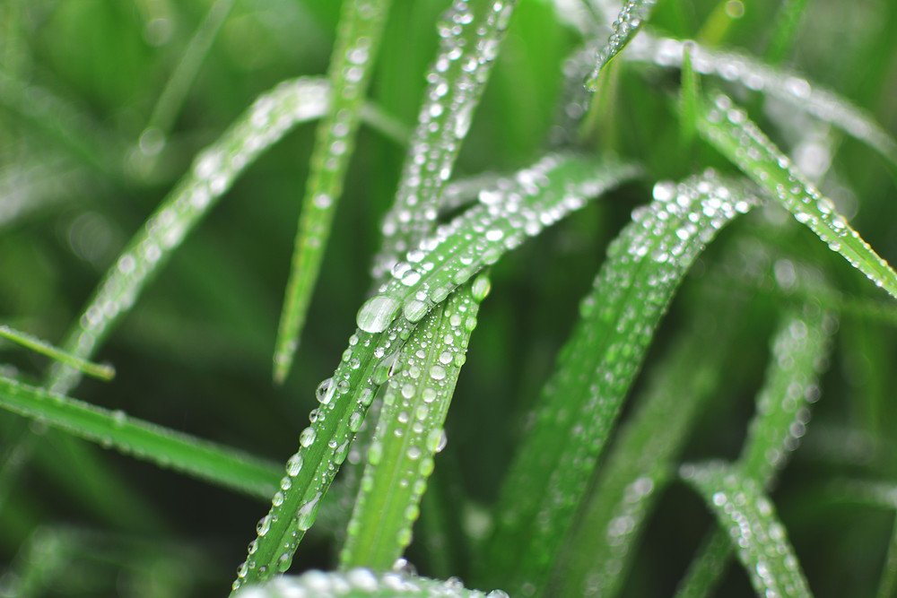 Moisture Droplets on Leaves Grass