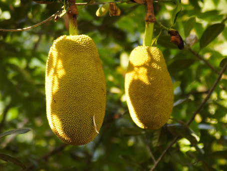 The Largest Tree Fruit in the World - Jackfruit