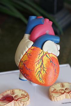 Anatomy of the Heart (Grades 9+)