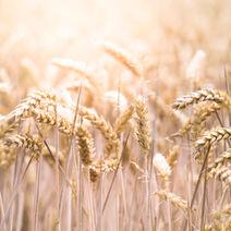 Doğal Katkısız Tam Buğday Unu