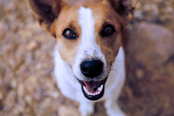 happy brown and white dog
