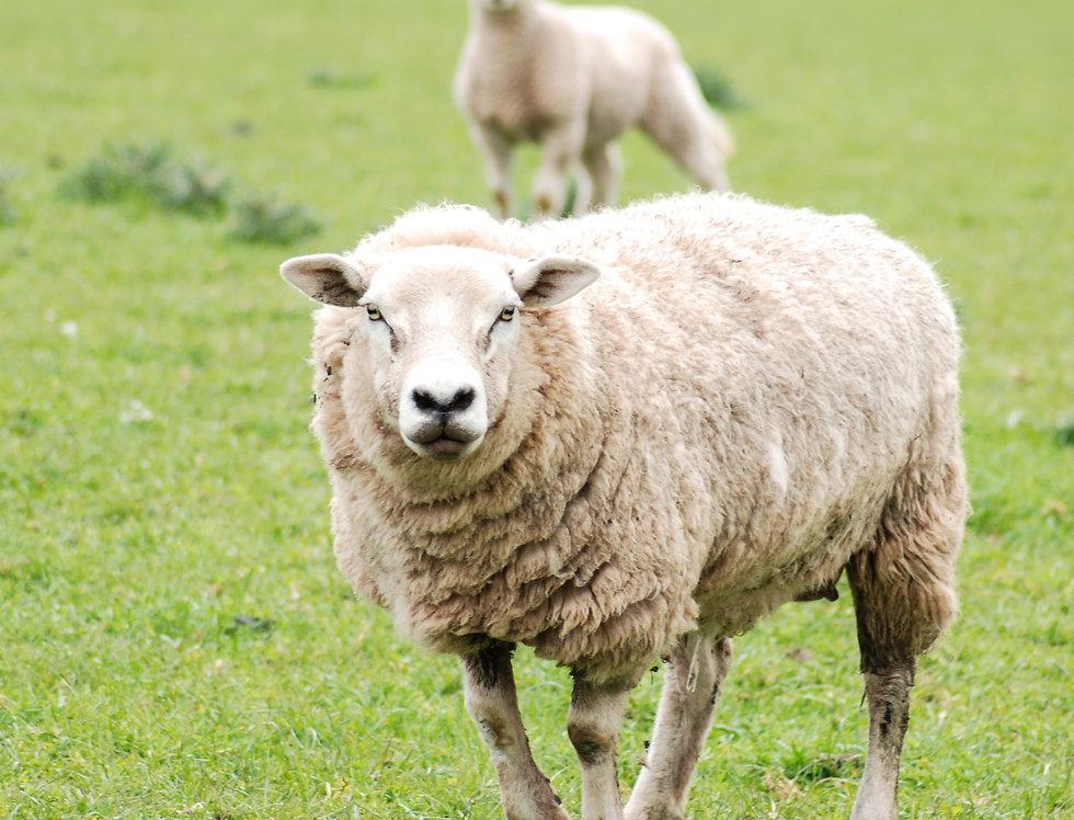 Sheep/Goat
