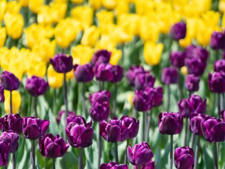 Cosa piantare con i Tulipani