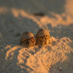 Hermit crabs are quite social animals.  Don't own just one hermit crab; they need buddies.  In the wild they often live in large colonies.