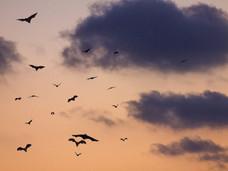 温哥华岛小学发现携带狂犬病病毒的蝙蝠 数人送医检查