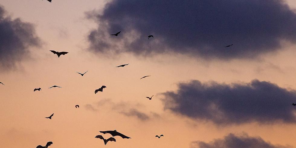 Bracken Cave Bat Flight