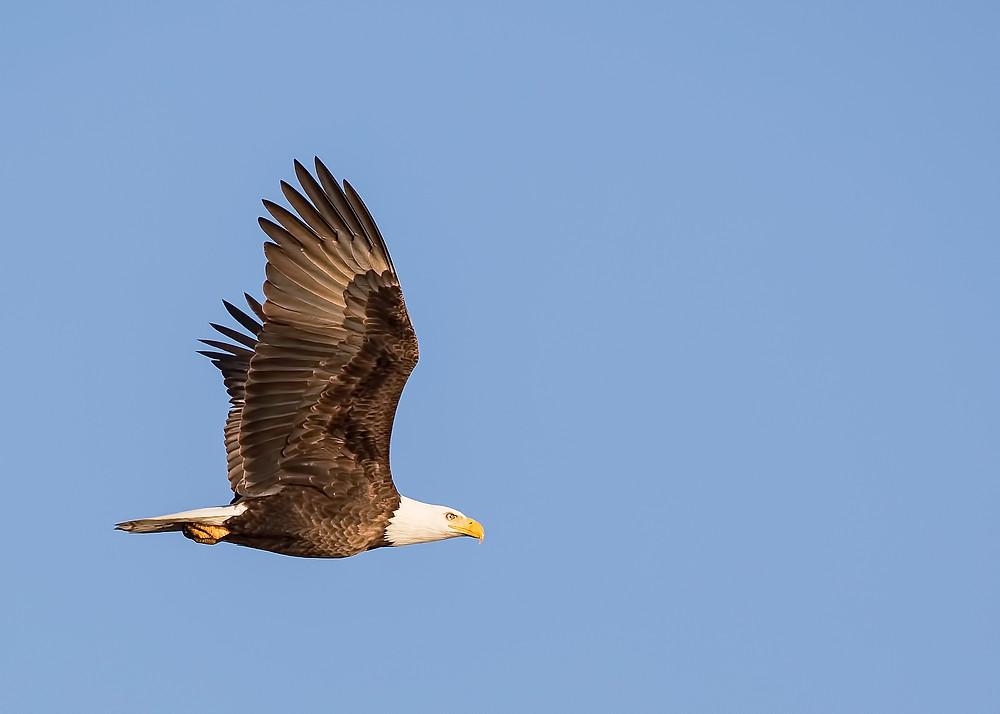 bald eagle flying above birch trail resort in minocqua wi