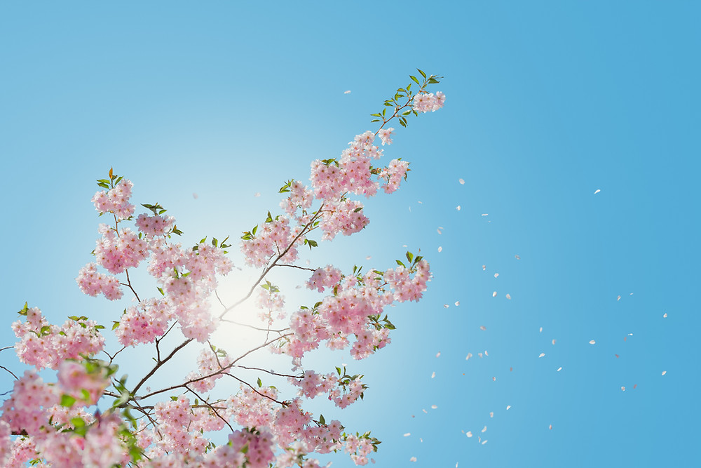 Blossom against a clear blue sky