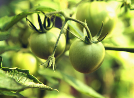 Three Tips to Turn Green Tomatoes Red!