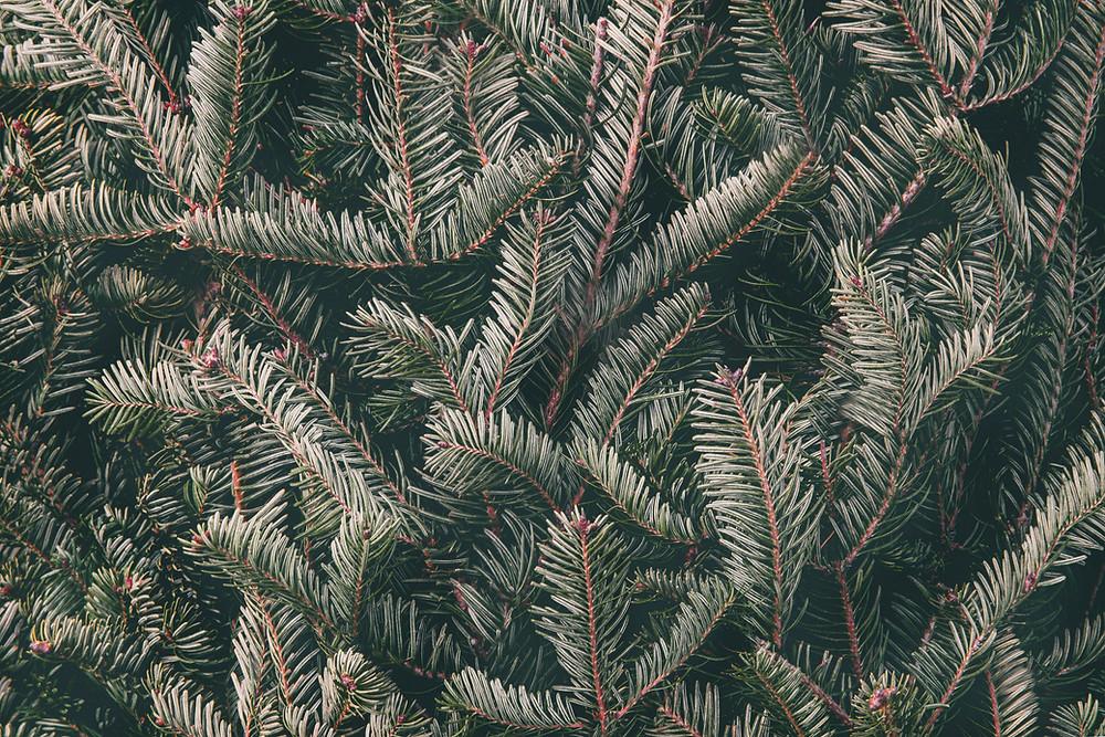 sabinene terpenes are found in spruce trees. buy sabinene terpenes online at peak supply co