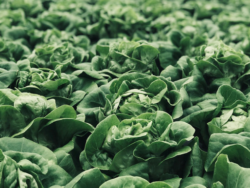 How to grow Bloomsdale long standing spinach (Spinacia oleracea)