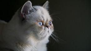 Les hypertypes des races de chat