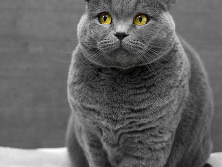 Как да дадем перорален антибиотик на котка?