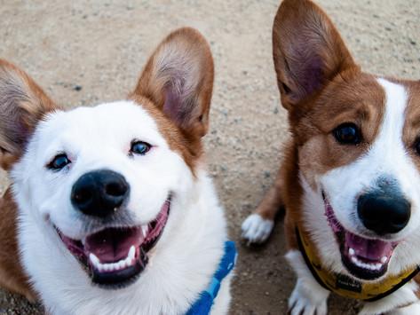 ¿Por qué un perro adulto pierde sus dientes?