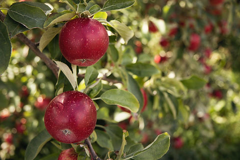 Image of apple trees by Jen Theodore
