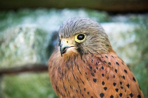 Peregrine Falcons: Habitat, Prey, and Behaviors