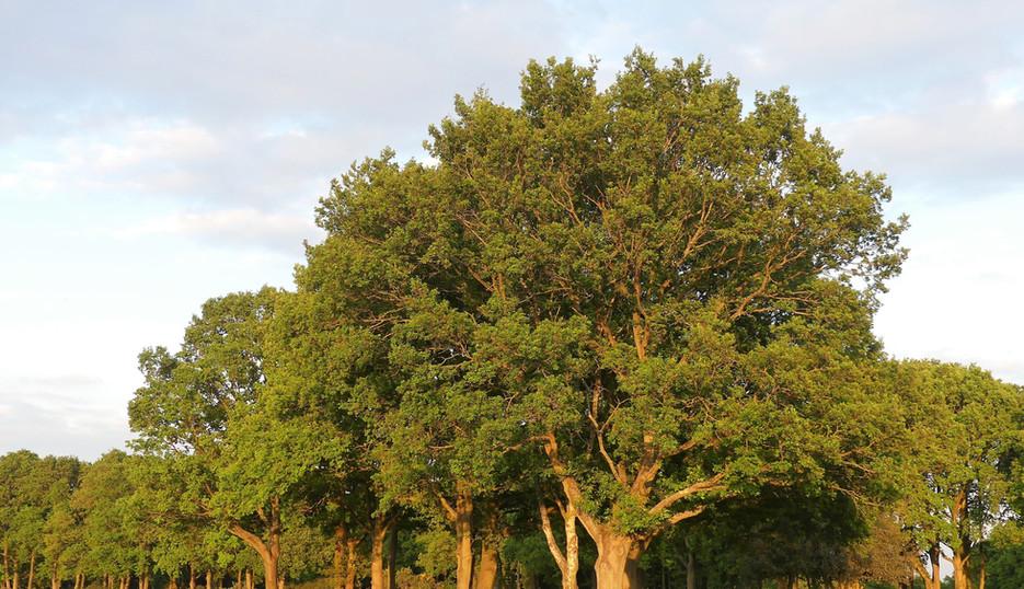 Oak (Common) Quercus Robur