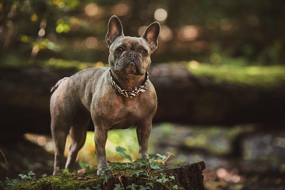 Francuski bulddog u prirodi