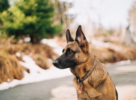 Smart and Beautiful- German Shepherds
