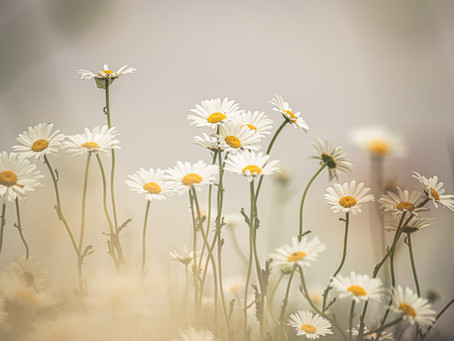 Homoeopathic and Bellis Perennis