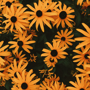 How to Grow Rudbeckia (Black Eyed Susan)