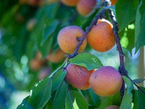 Apricots, Organic, 2 Pounds
