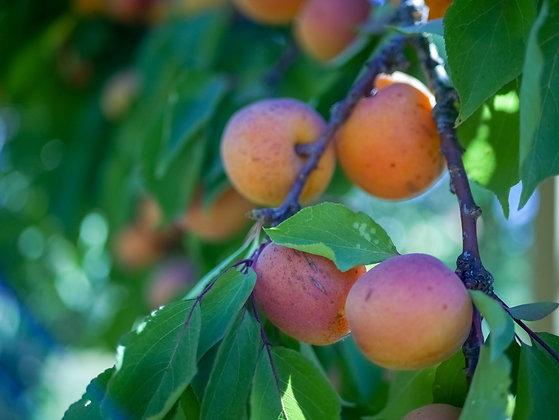 Apricot Tros